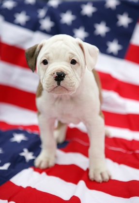 http://www.dogsquad.biz/constant-images/american-bulldog-pup.jpg